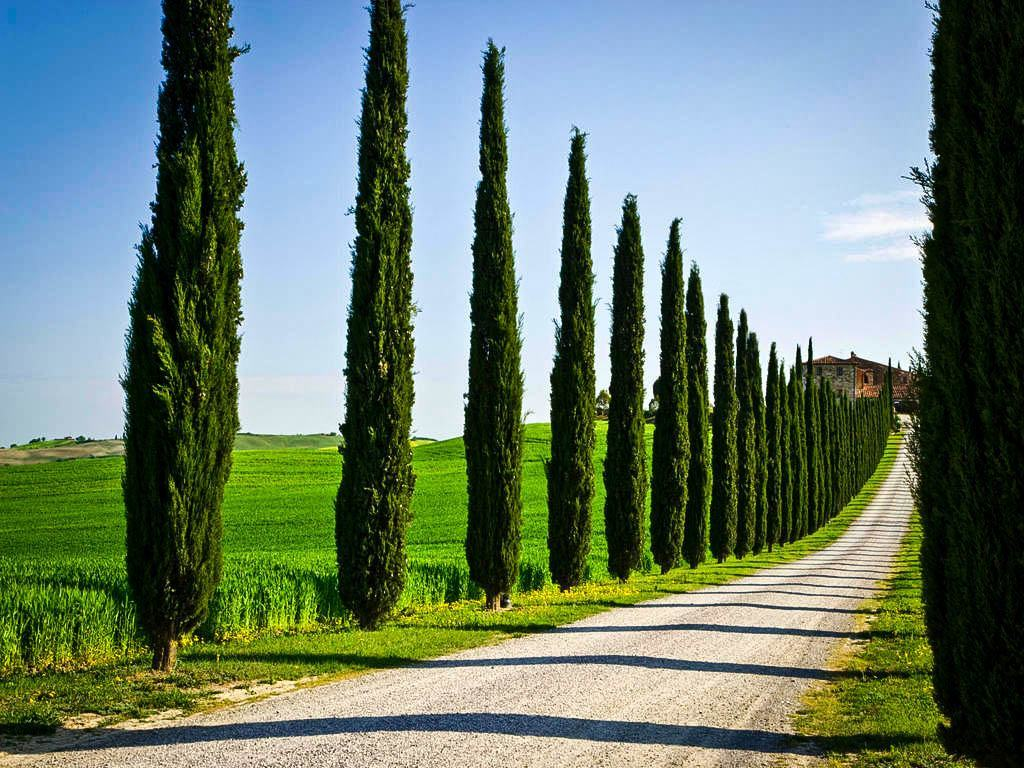 Tall Italian Cypress Tree